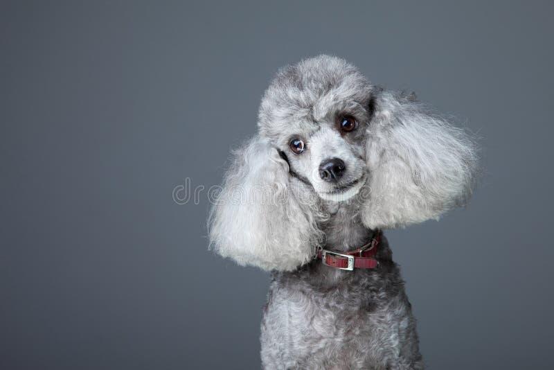 好奇灰色长卷毛狗 免版税库存图片