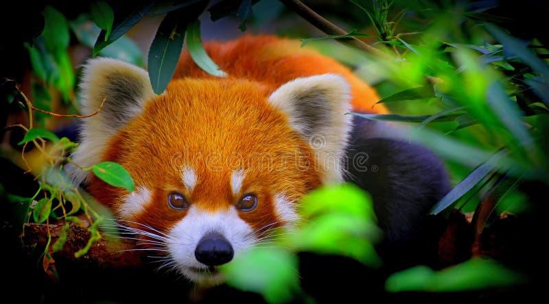 好奇熊猫红色 免版税图库摄影