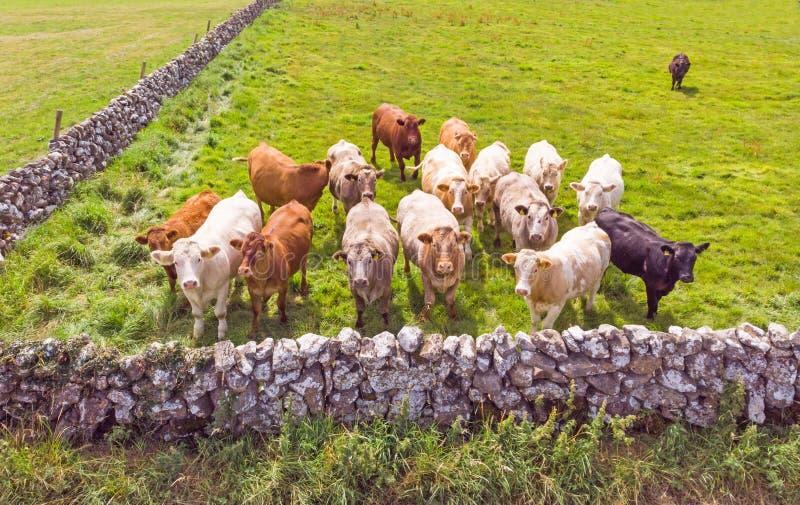 好奇爱尔兰母牛小牧群  免版税库存照片