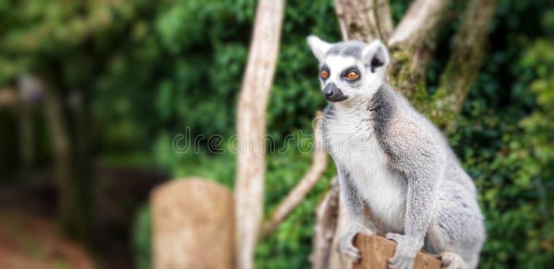 好奇狐猴 免版税库存照片