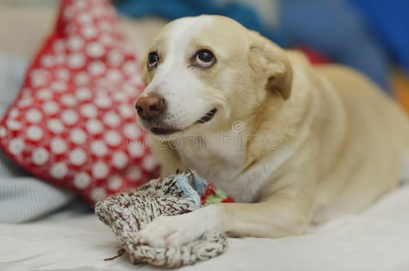 好奇狗使用与袜子 免版税库存照片