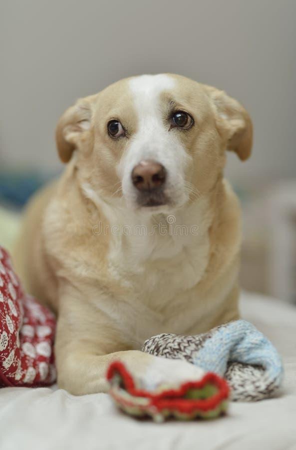 好奇狗使用与袜子 库存图片
