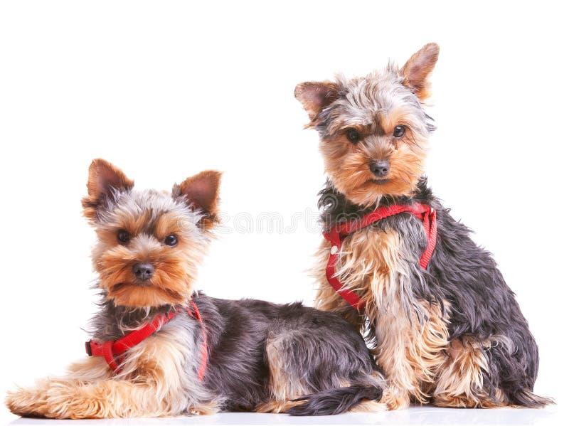 好奇狗小的小狗二约克夏 免版税库存照片