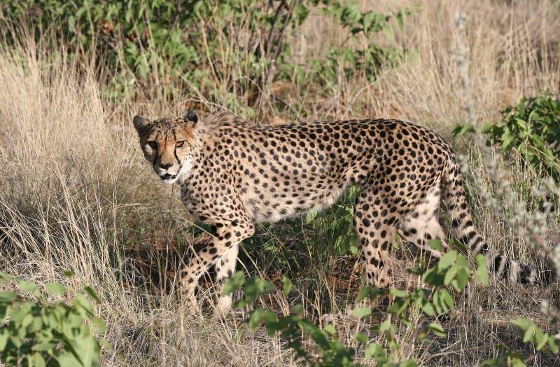 好奇猎豹 库存图片