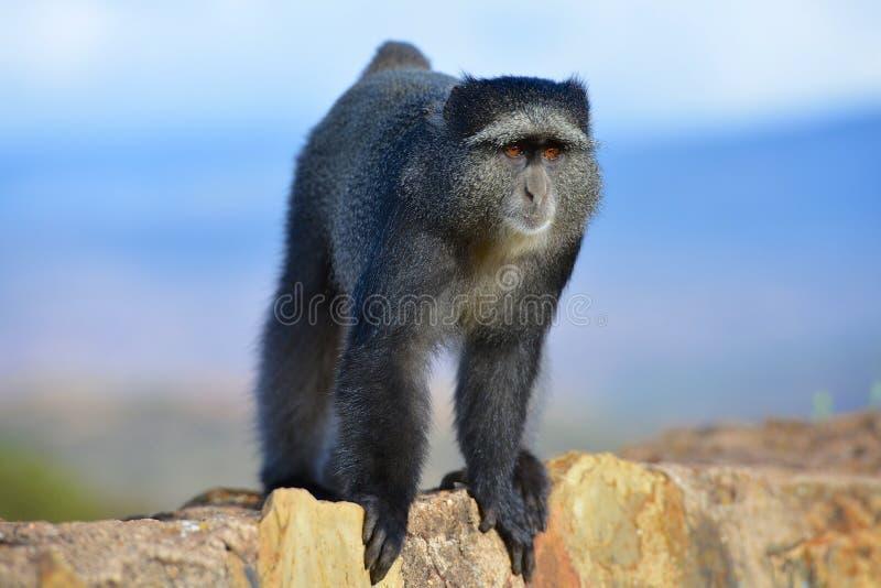 好奇猴子在坦桑尼亚的恩戈罗恩戈罗火山口 免版税库存图片