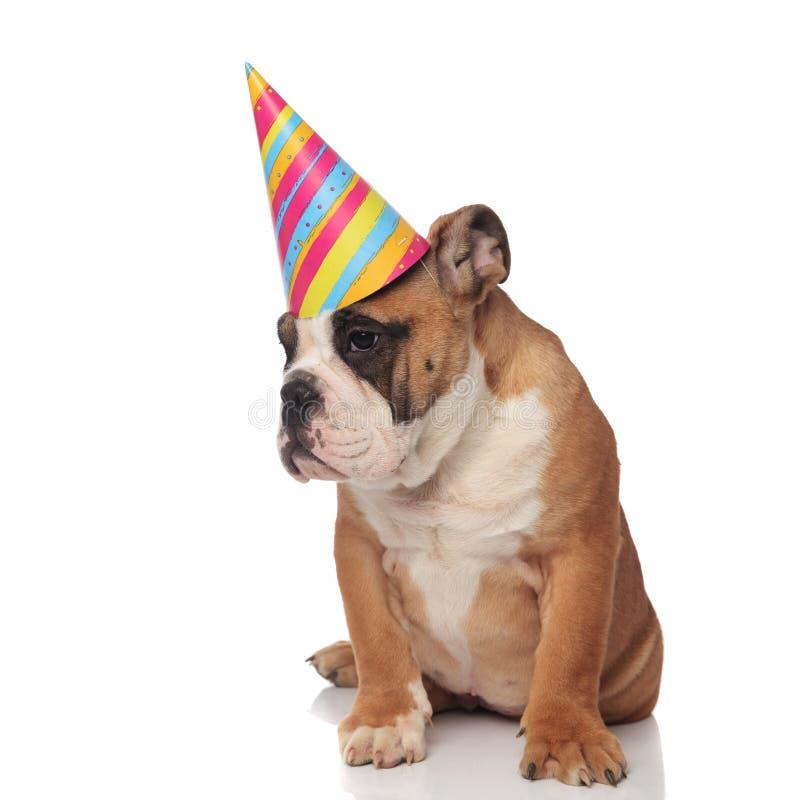 好奇生日英国牛头犬看得下来支持,当sittin时 库存照片