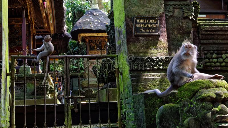 好奇的猿她被盯梢的长短尾猿妈妈调查是新的谁 库存照片