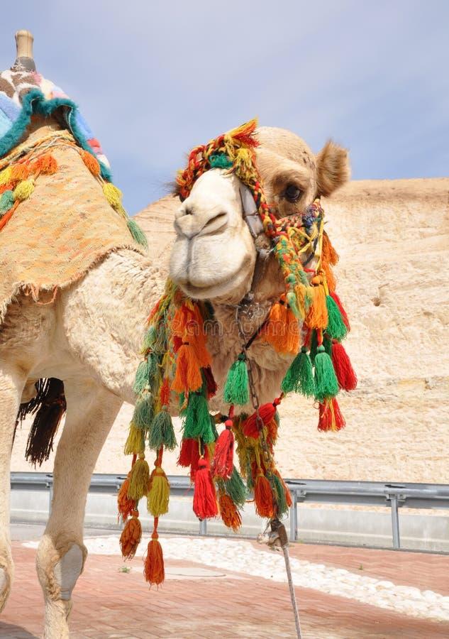 好奇的骆驼 免版税库存照片