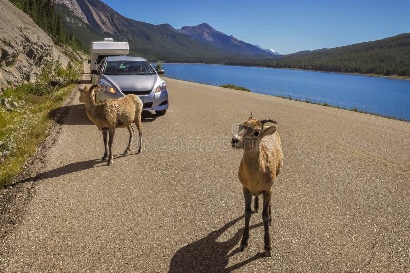 好奇石山羊在Medicine湖停止交通 库存照片
