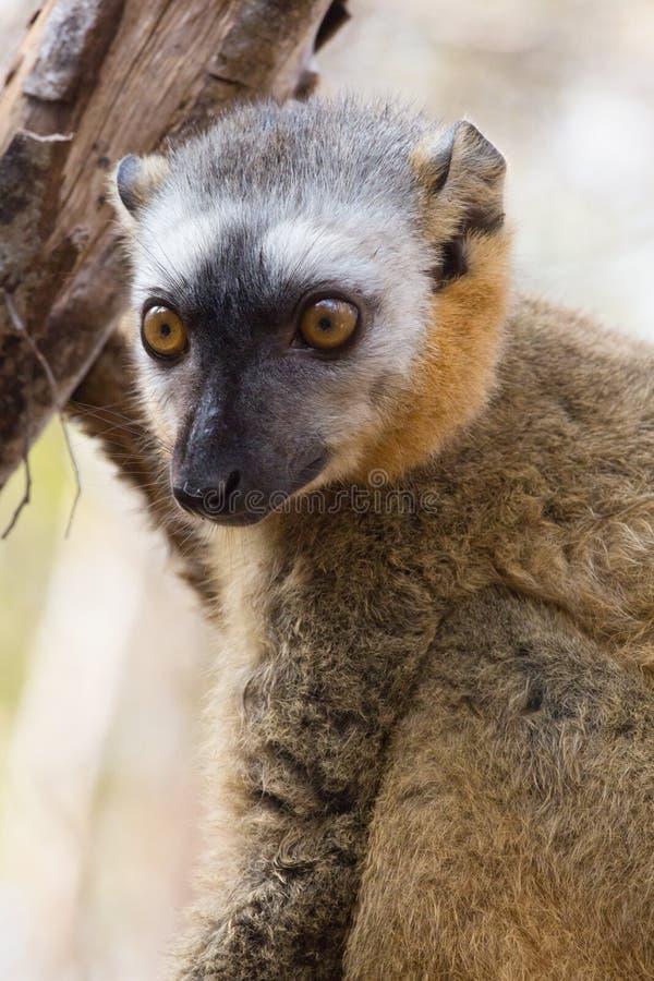 好奇红朝向的布朗狐猴外形 免版税库存图片