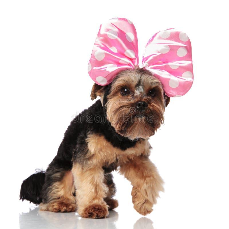 好奇约克夏狗以支持的桃红色丝带步 库存照片