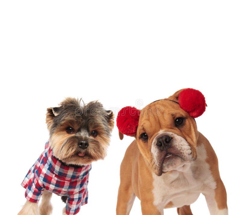 好奇约克夏狗和英国牛头犬穿戴了为尊敬 库存照片