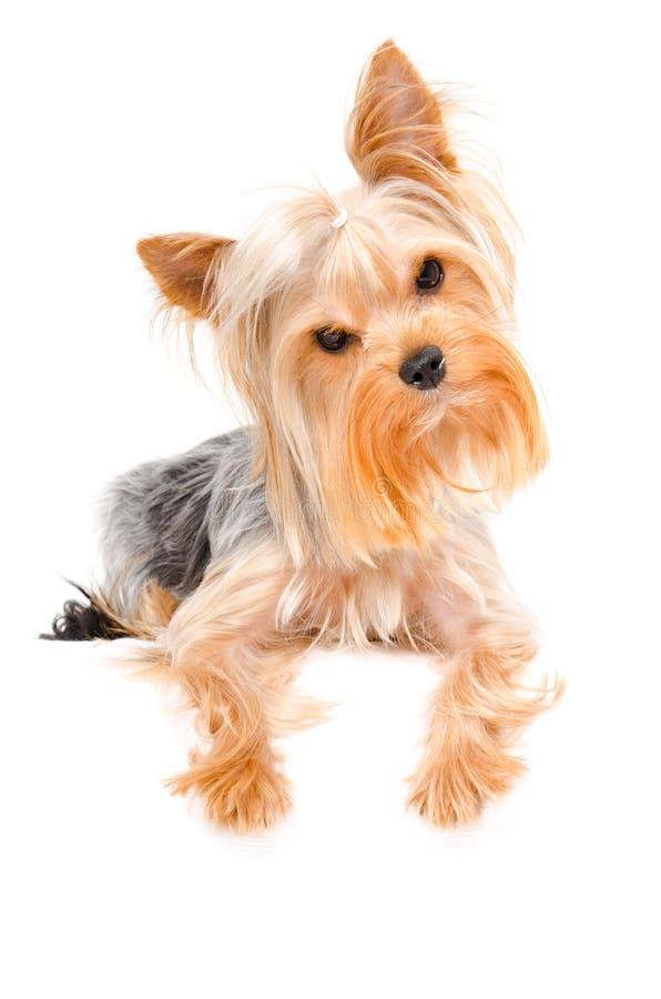 好奇约克夏狗的画象 免版税库存照片