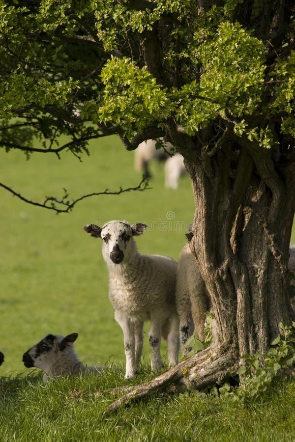 好奇羊羔 库存图片