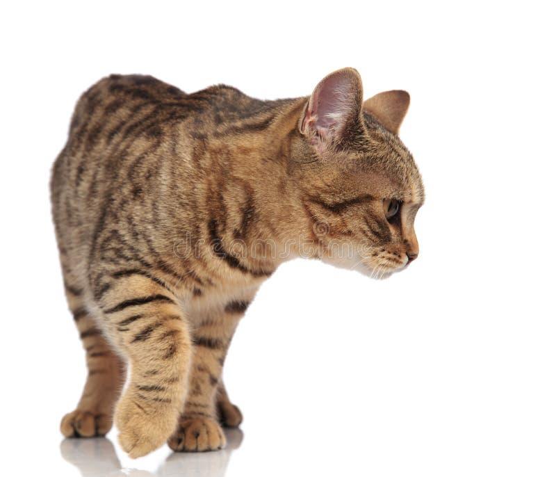 好奇英国折叠看的猫跨步和下来支持 库存图片