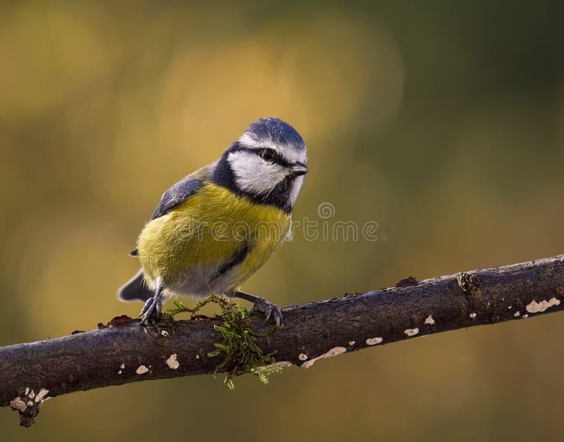 好奇蓝冠山雀(Cyanistes caeruleus或帕鲁斯caeruleus) 库存图片