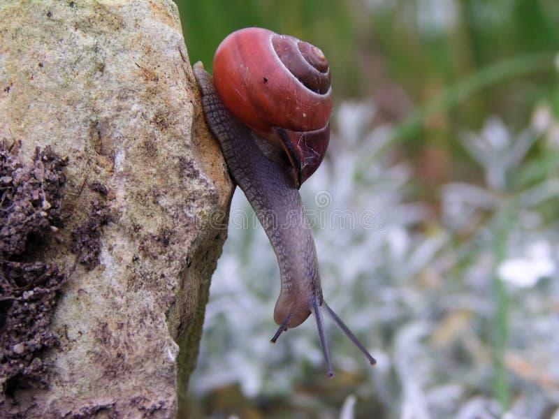 好奇蜗牛 免版税库存照片