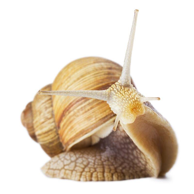 好奇蜗牛 图库摄影