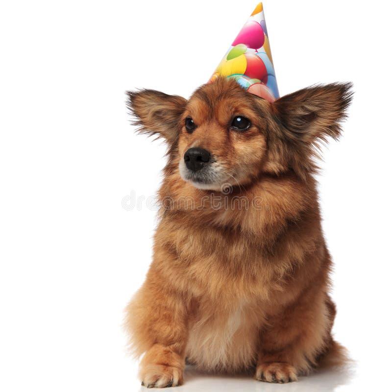 好奇褐色供以座位与生日帽子神色的狗支持 免版税库存图片