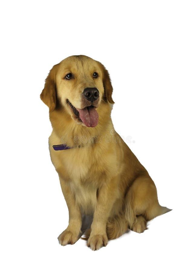 好奇金毛猎犬 免版税库存照片