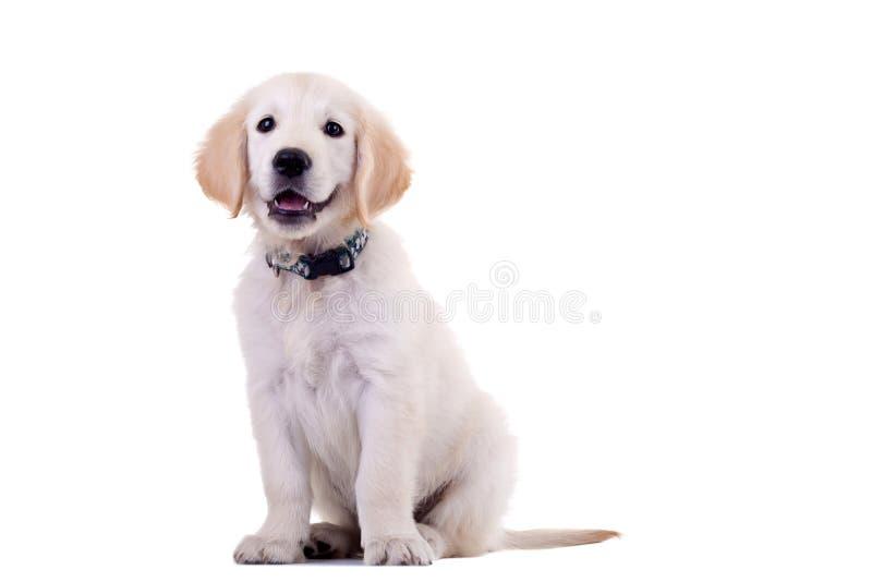 好奇金黄拉布拉多猎犬 免版税库存图片