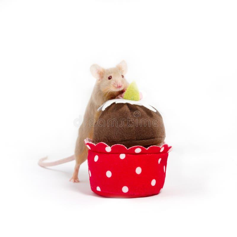 好奇金黄家养的老鼠探索长毛绒杯形蛋糕 免版税库存图片