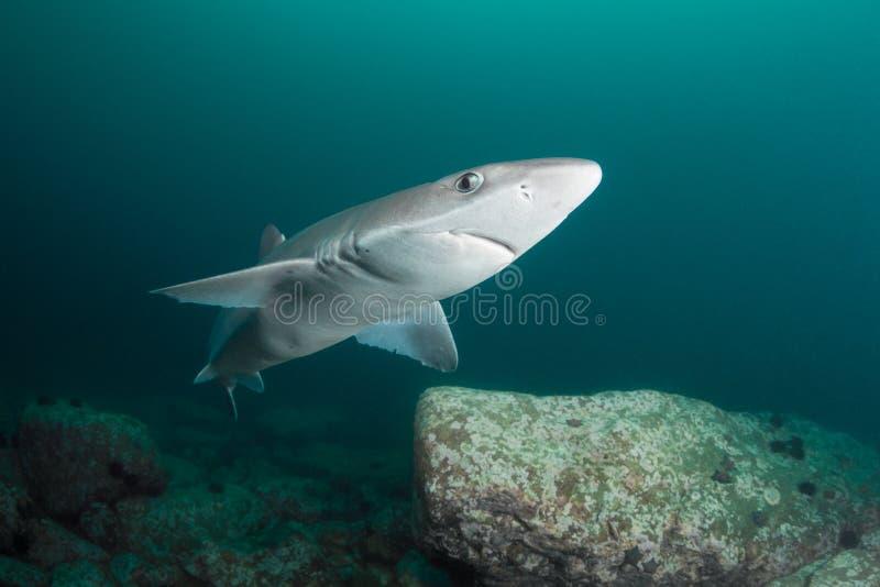 好奇鲨鱼 免版税库存图片