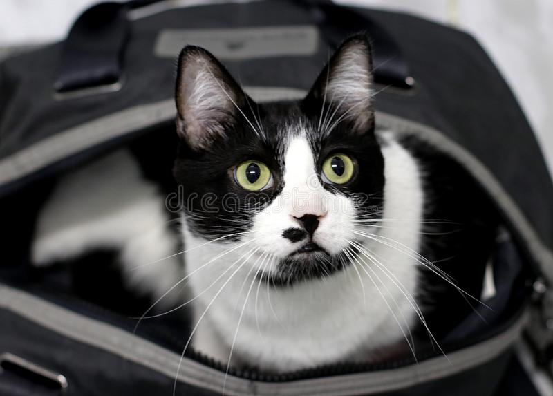 好奇黑白猫 免版税图库摄影