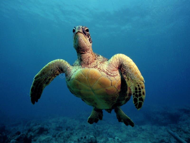 好奇绿浪乌龟-奥阿胡岛 免版税库存照片