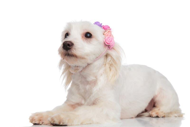 好奇bichon佩带的花侧视图加冠查寻 库存照片