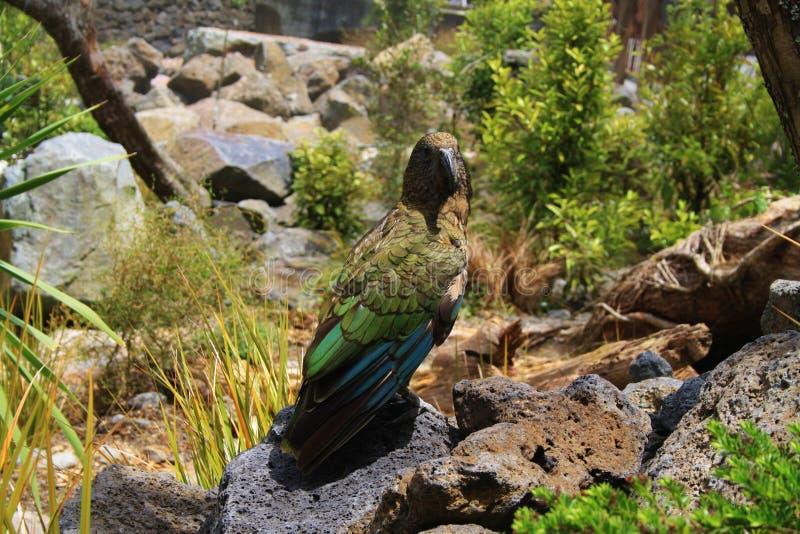 好奇Kea鹦鹉 图库摄影