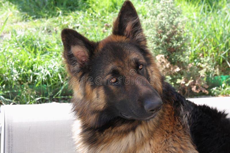 好漂亮的东西或人ful德国牧羊犬 免版税库存照片