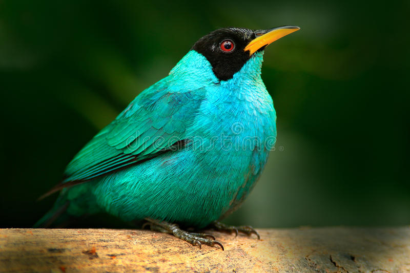 从好的动物热带森林特写镜头画象的唐纳雀在栖所 美丽的鸟细节  绿色Honeycreeper,绿萤石 免版税库存图片