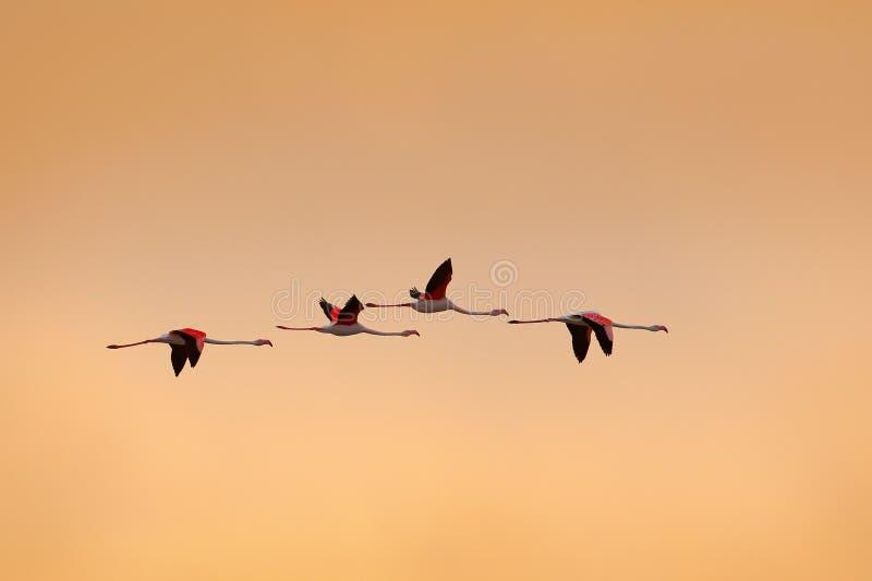 好的桃红色大鸟更加伟大的火鸟, Phoenicopterus ruber飞行群,与与云彩的清楚的早晨天空, Camargue,法国 S 免版税图库摄影