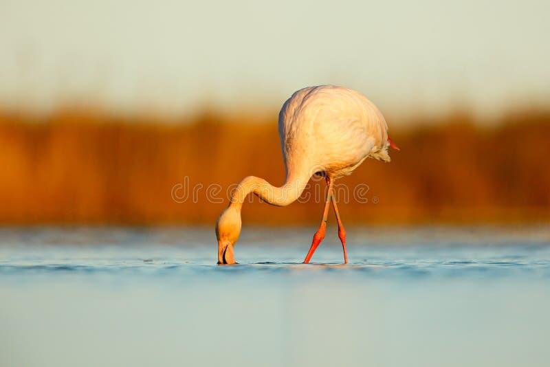好的桃红色大鸟更加伟大的火鸟, Phoenicopterus ruber,在水中,与晚上太阳, Camargue,法国 在nat的野生生物场面 免版税库存照片