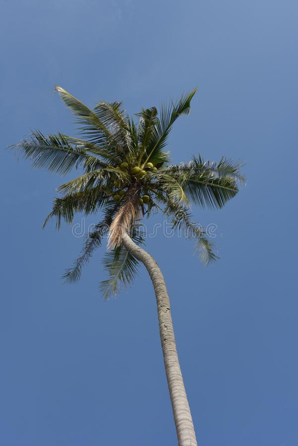 好的棕榈树用在蓝色晴朗的天空的椰子 免版税库存照片