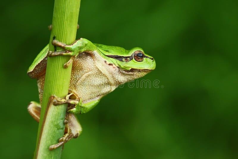 好的绿色两栖欧洲雨蛙,雨蛙arborea,坐草有清楚的绿色背景 库存图片