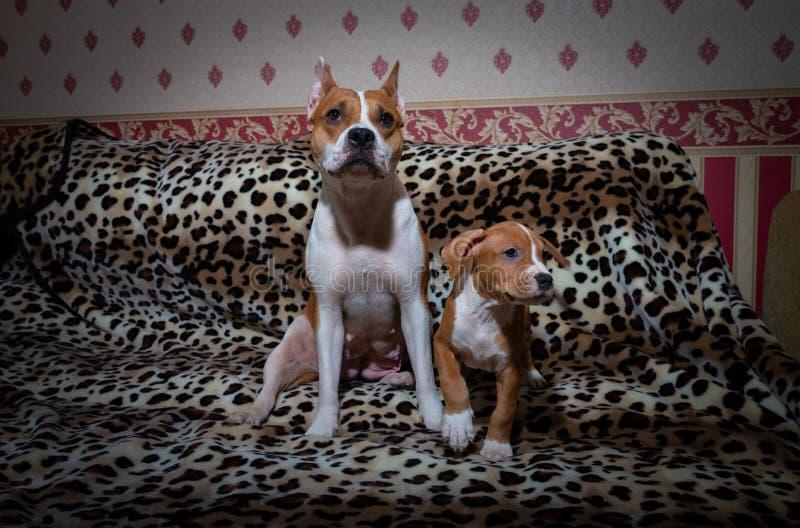 好的美国职员狗生锈的爱犬 库存图片
