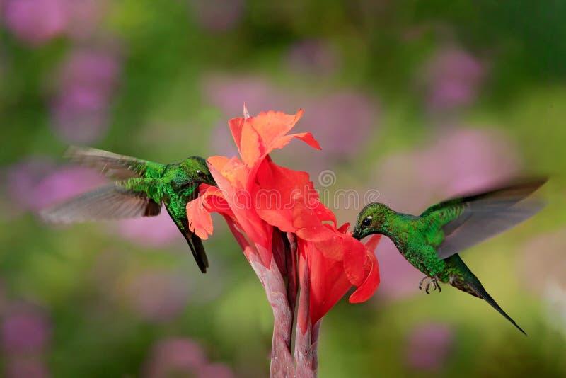 好的蜂鸟绿色加冠了精采,Heliodoxa jacula,飞行在与砰花的美丽的橙色花旁边在 图库摄影