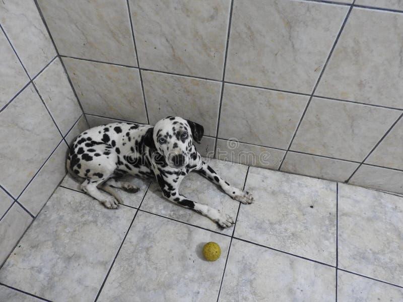 好的达尔马希亚狗 库存照片