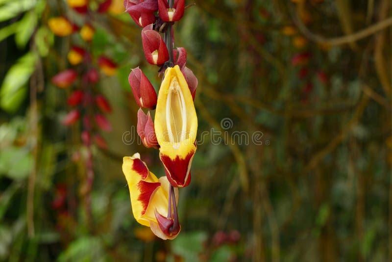 好的黄色红色orchidea 图库摄影