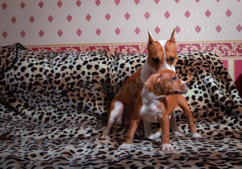 好的amstaff小狗和母亲宠物生锈的红色动物家美国斯塔福德郡狗 免版税图库摄影