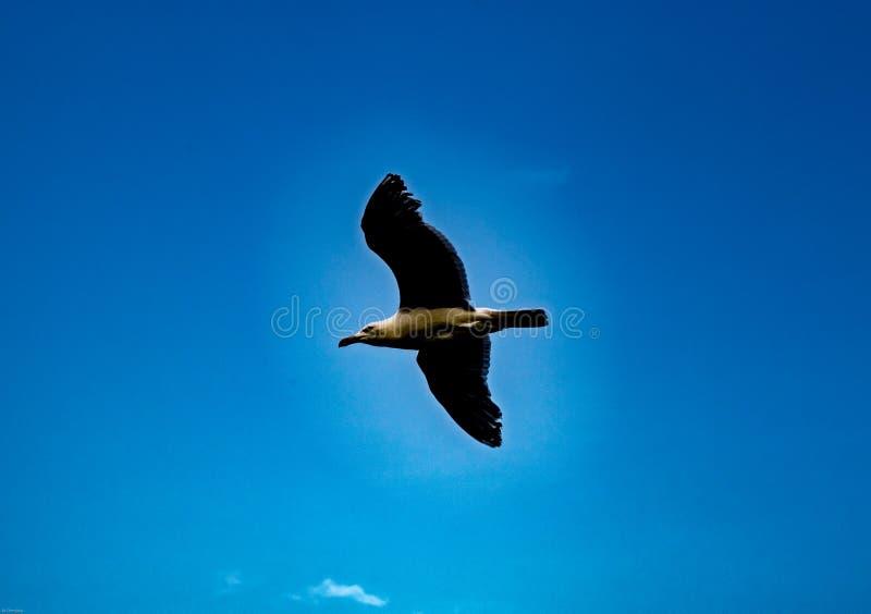 如在鳕鱼角中看到马萨诸塞美国蓝天的高昂鸟  库存图片