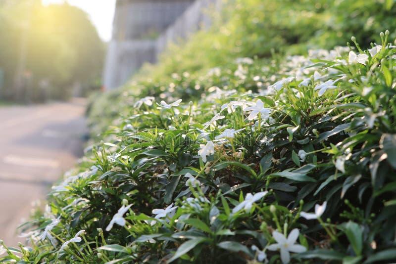 如此开花在与叶子的庭院白色颜色的茉莉花花 库存照片