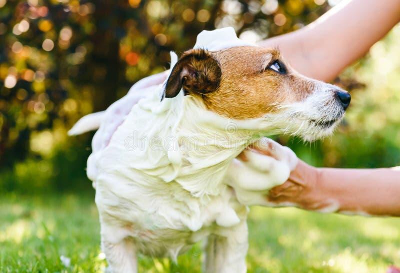 妇女与香波的洗涤物狗室外温暖的夏日 免版税库存照片