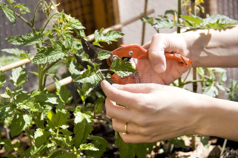 妇女修剪家庭都市庭院的一棵植物 图库摄影