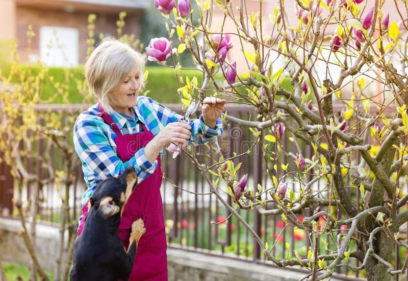 妇女修剪木兰树 库存照片