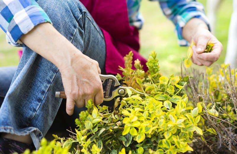 妇女修剪灌木 图库摄影