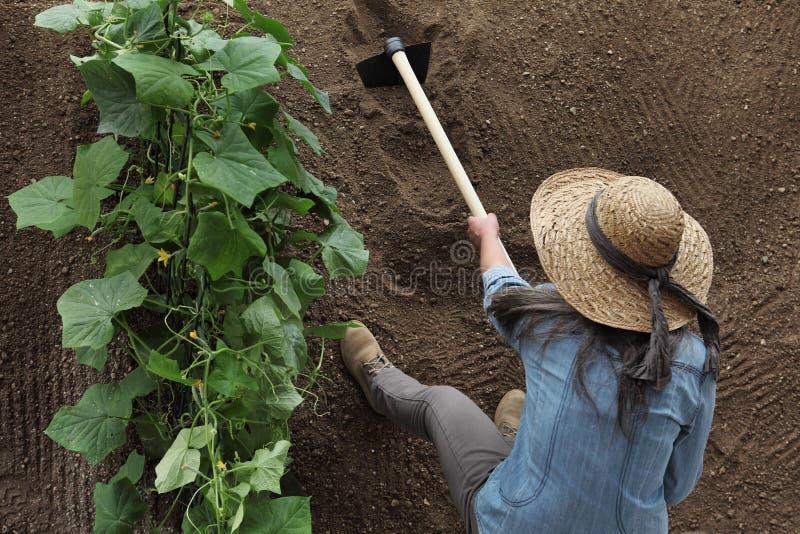妇女农夫与锄一起使用在菜园里,锄土壤在黄瓜植物附近 库存照片