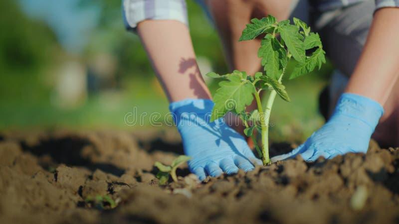 妇女农夫在地面投入蕃茄幼木 仔细猛撞土壤在新芽附近 库存图片